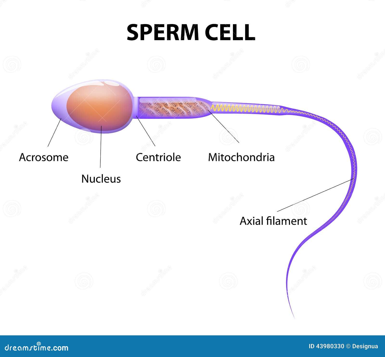 Спермио фото