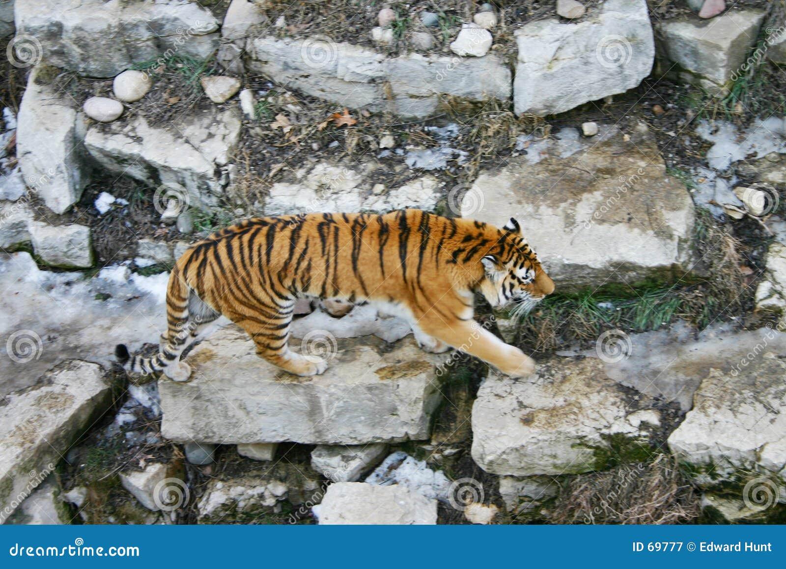 Stryka omkring tiger