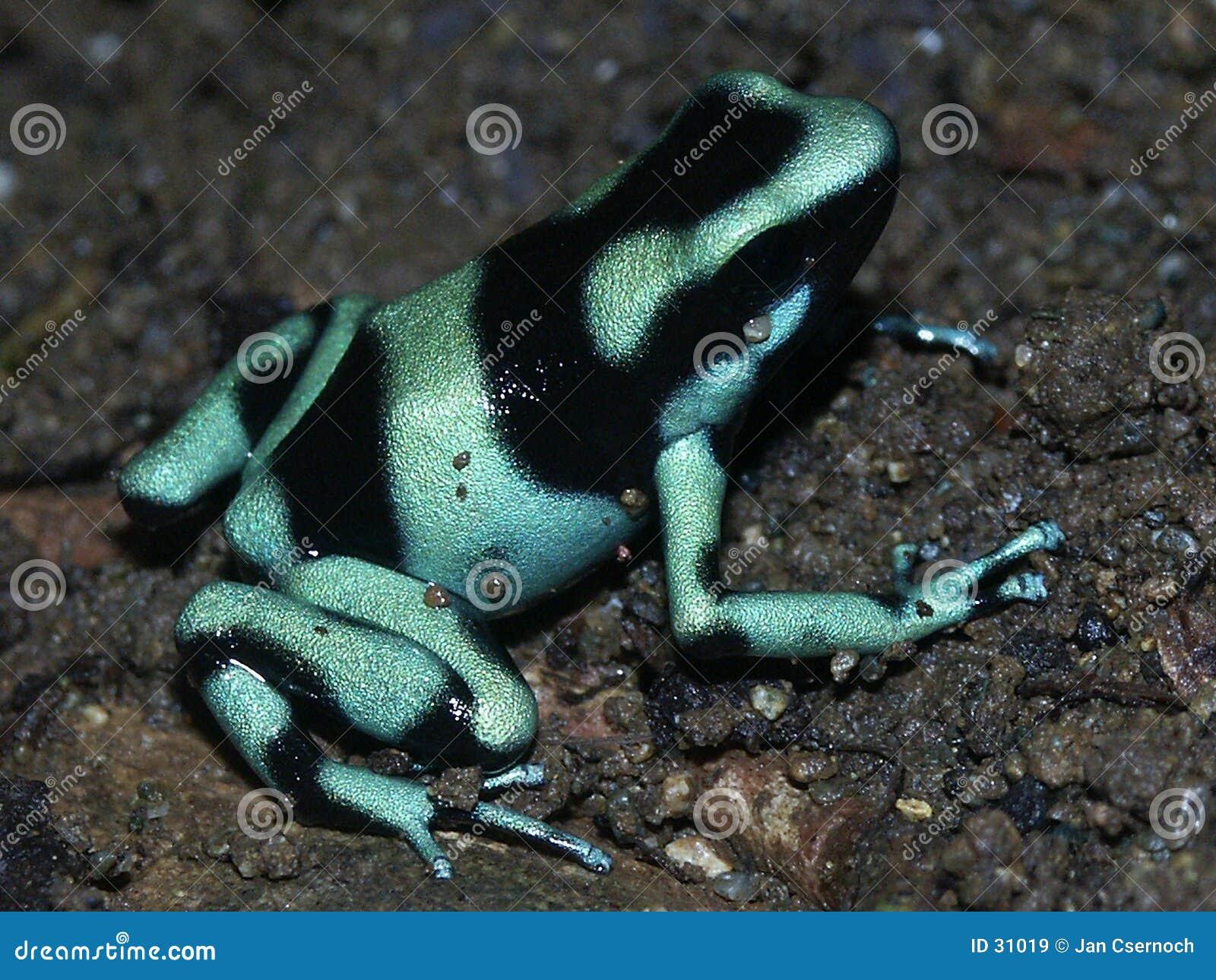 Strzała żaby zielone truciznę