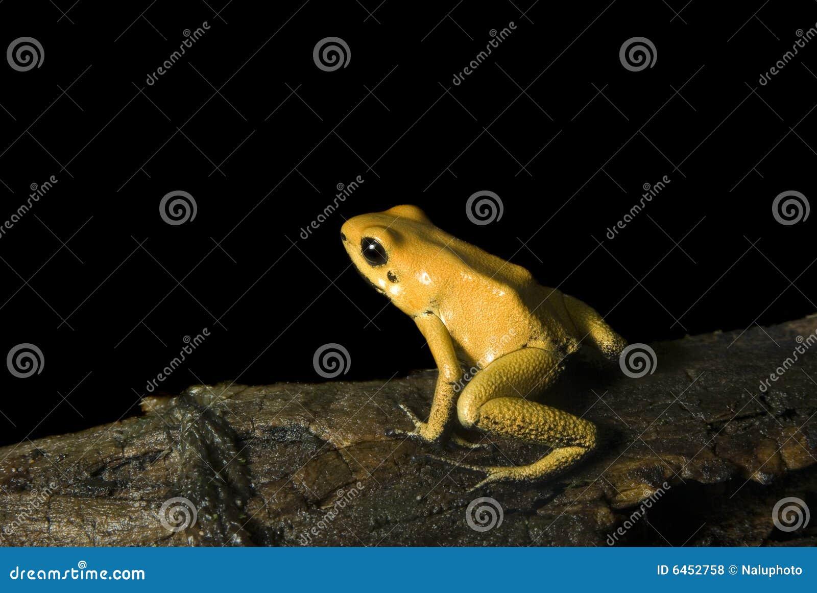 Strzałki żaby żółty