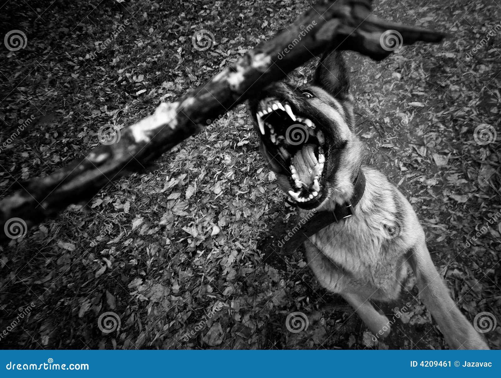 Strzeż się psa.