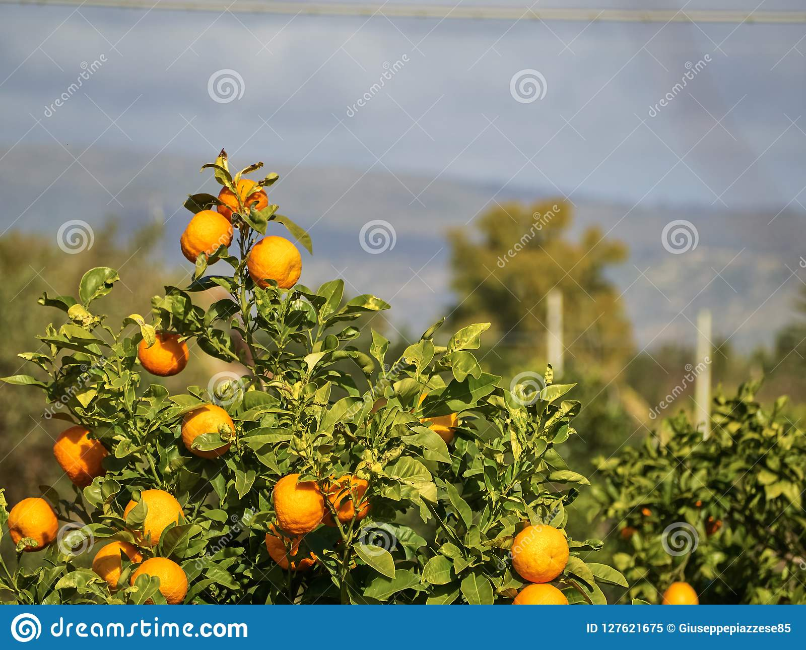 Strzelający mandarynki drzewa tangerine drzewo