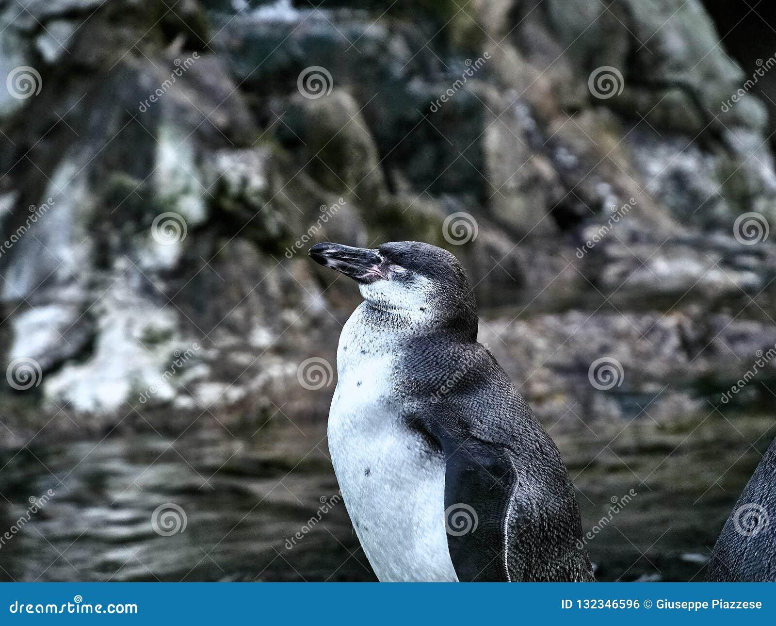 Strzelający pingwin
