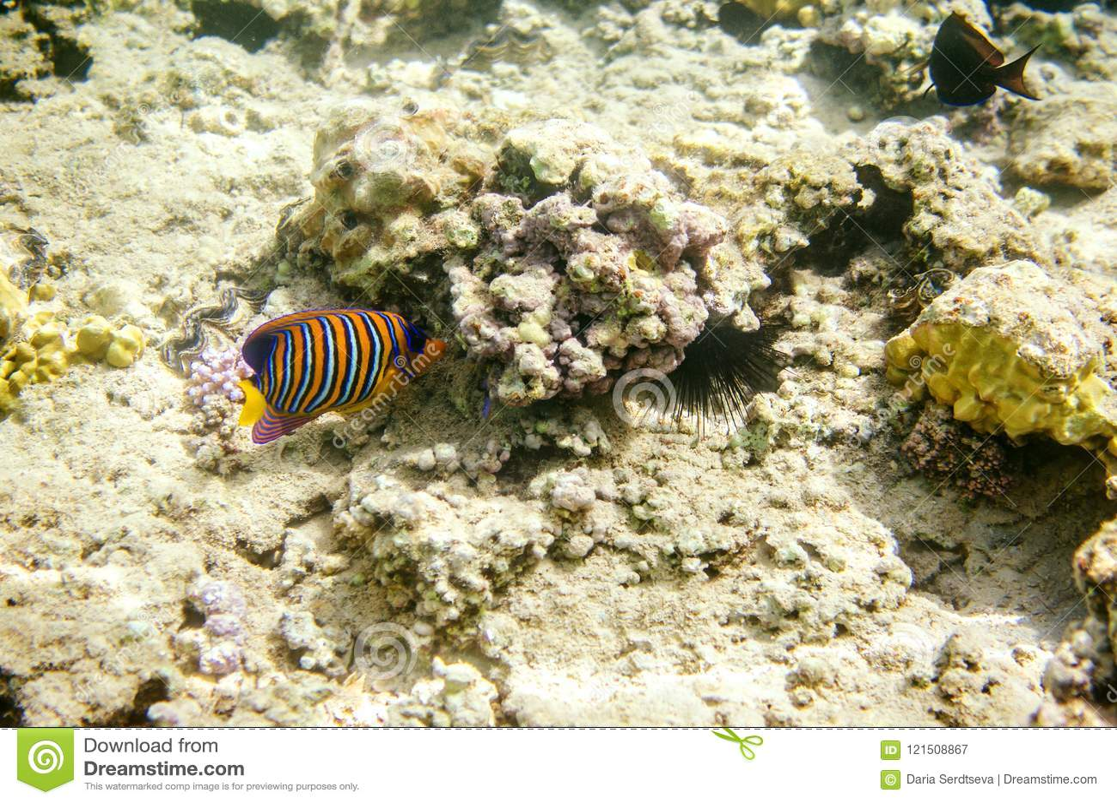 Stubarwny pasiasty angelfish w nawadnia Czerwony morze Ryba unosi się na dnie wśród korali