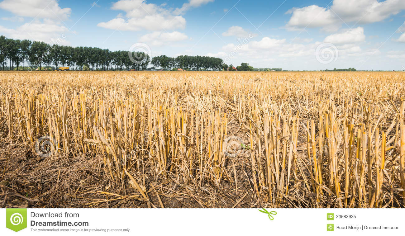 Stubble After Harvesting Grain Stock Image Image Of Corn