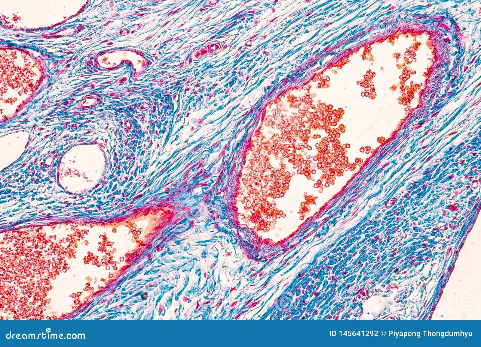 Student het leren anatomie en fysiologie van Eierstok onder microscopisch