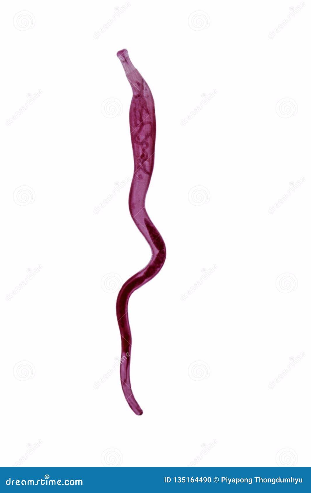 Studie av parasitisk och anatomisk patologi i laboratorium