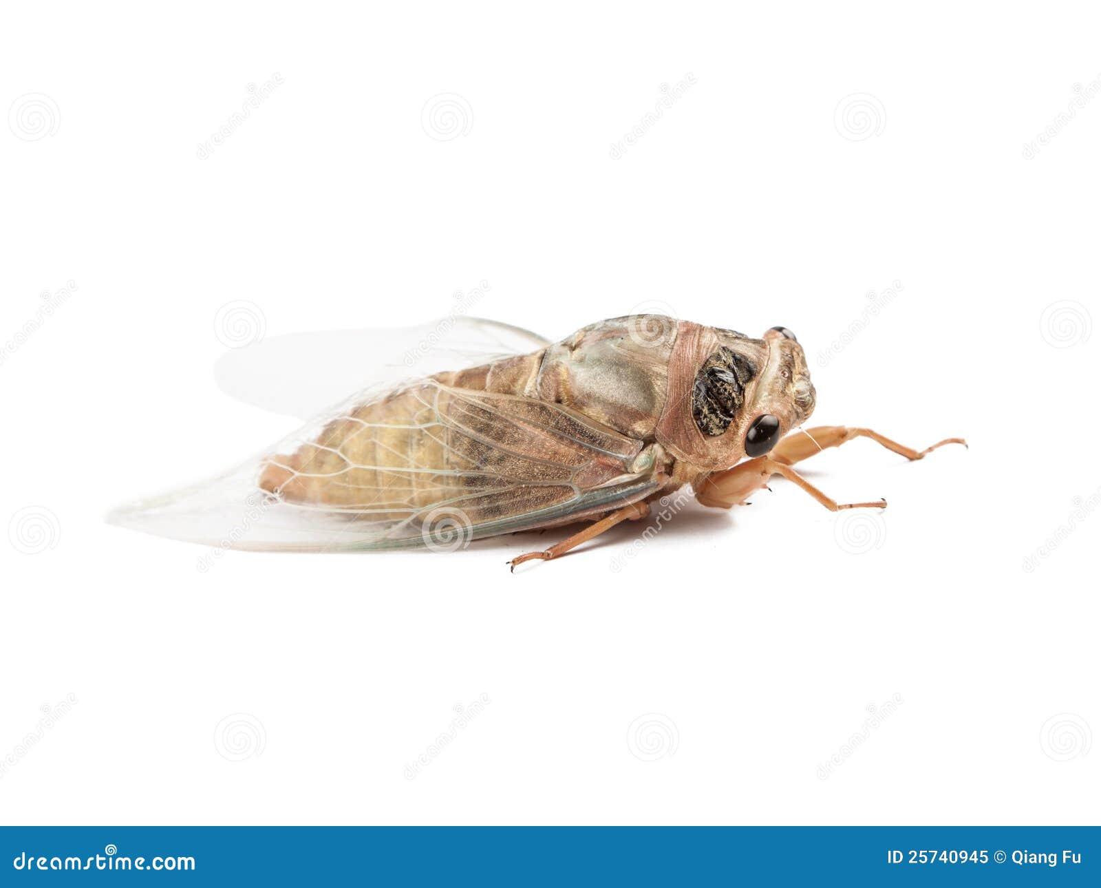Studio shoot of new borned cicada