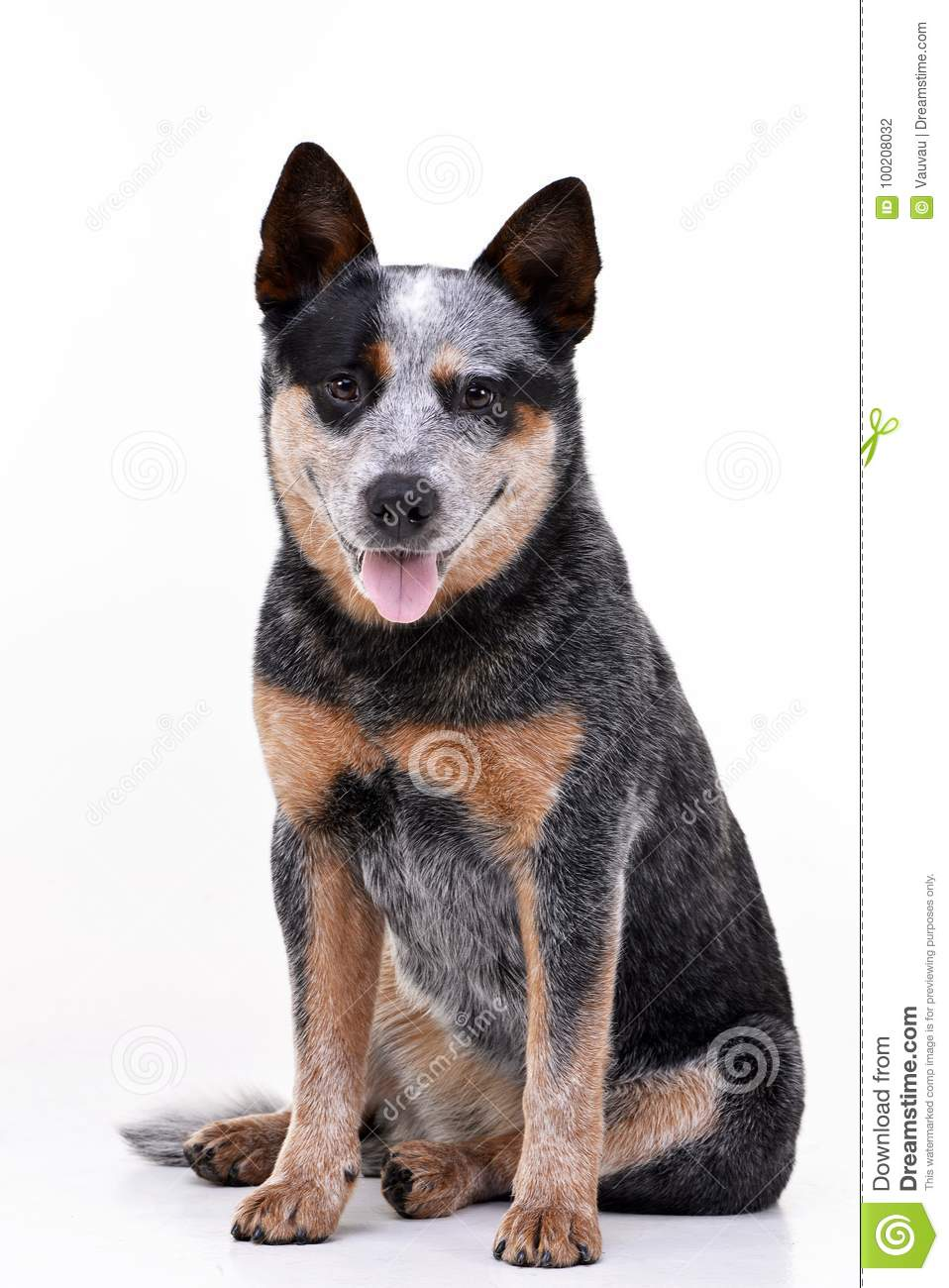 Studio shot of an adorable Australian Cattle Dog