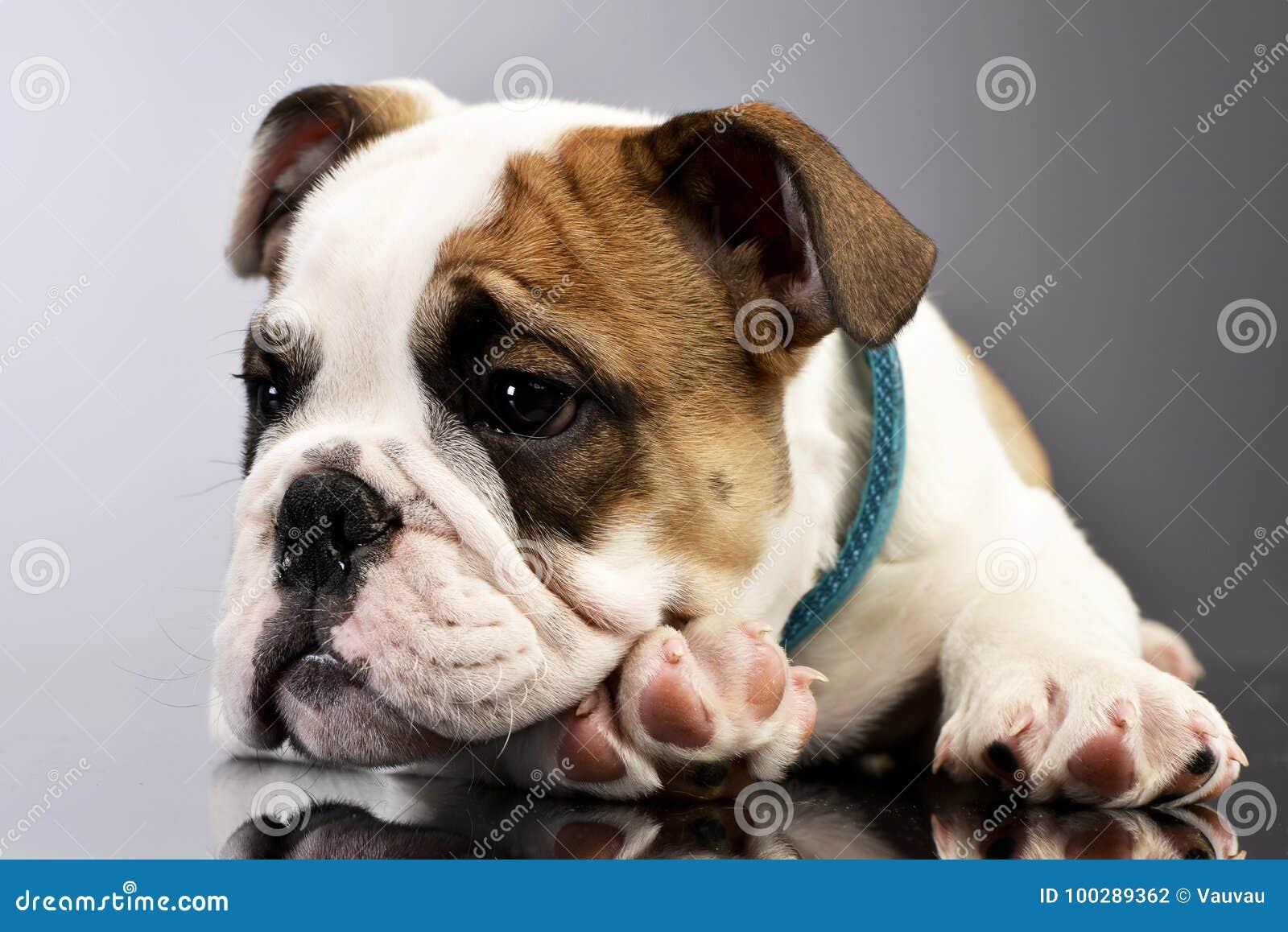 Studio Shot Of An Adorable English Bulldog Puppy Stock Photo Image Of Mouth English 100289362