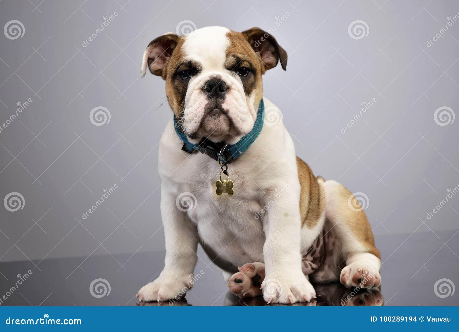 Studio Shot Of An Adorable English Bulldog Puppy Stock Photo Image Of Cute Collar 100289194
