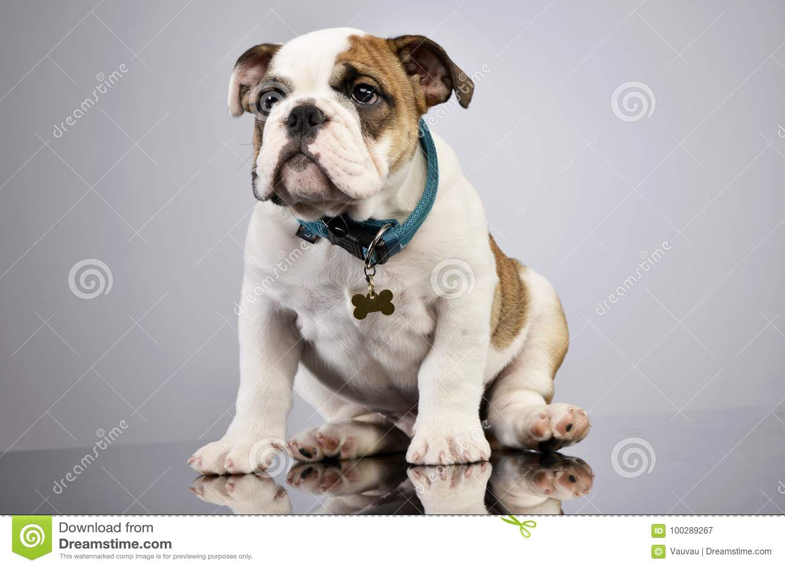 Studio Shot Of An Adorable English Bulldog Puppy Stock Image Image Of Coat Domestic 100289267