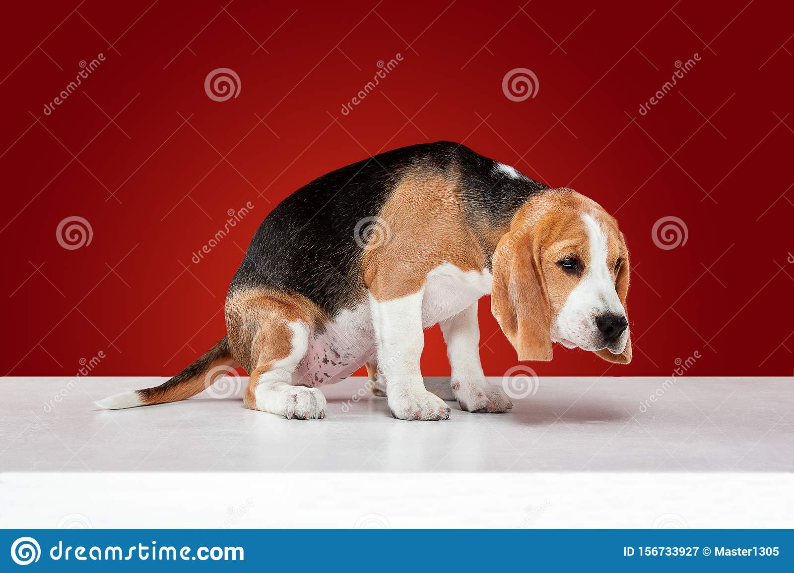Studio Shot Of Beagle Puppy On Red Studio Background Stock Image Image Of Brown Lying 156733927