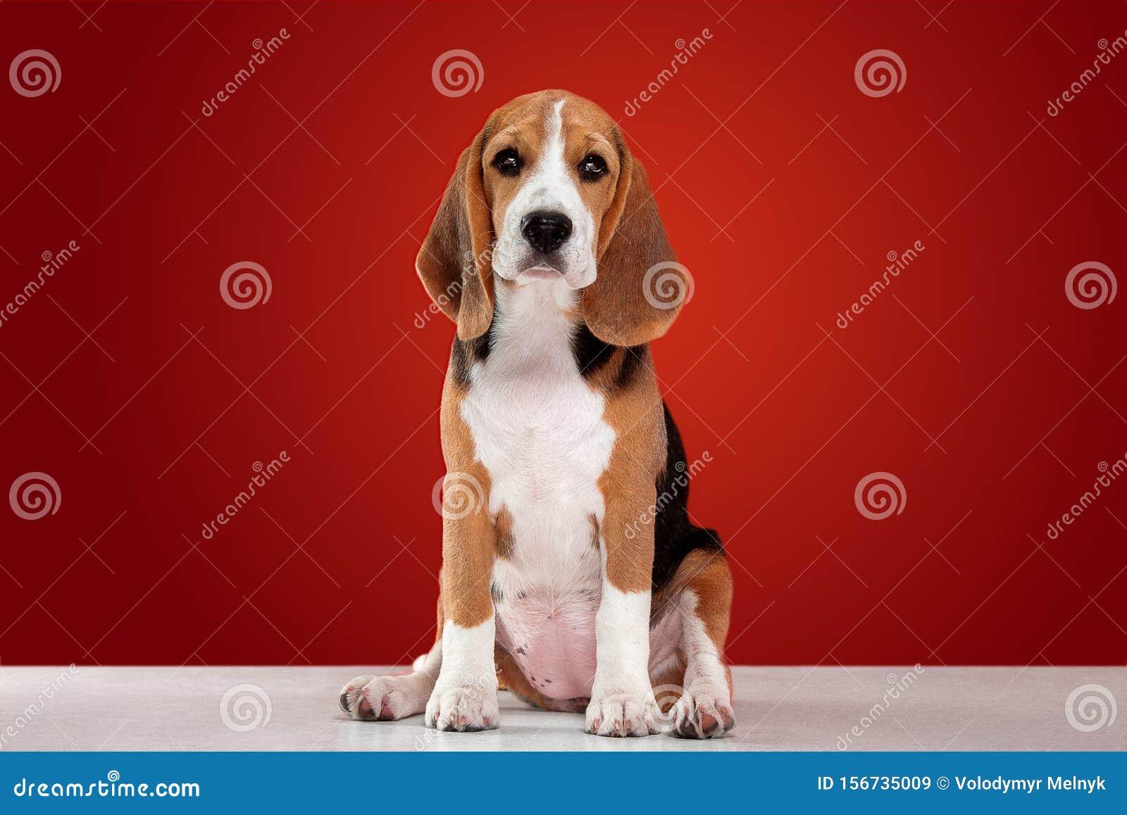 Studio Shot Of Beagle Puppy On Red Studio Background Stock Image Image Of Breed Aspiring 156735009
