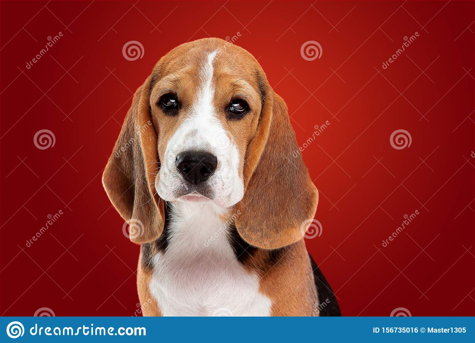 Studio Shot Of Beagle Puppy On Red Studio Background Stock Photo Image Of Cute Fluffy 156735016