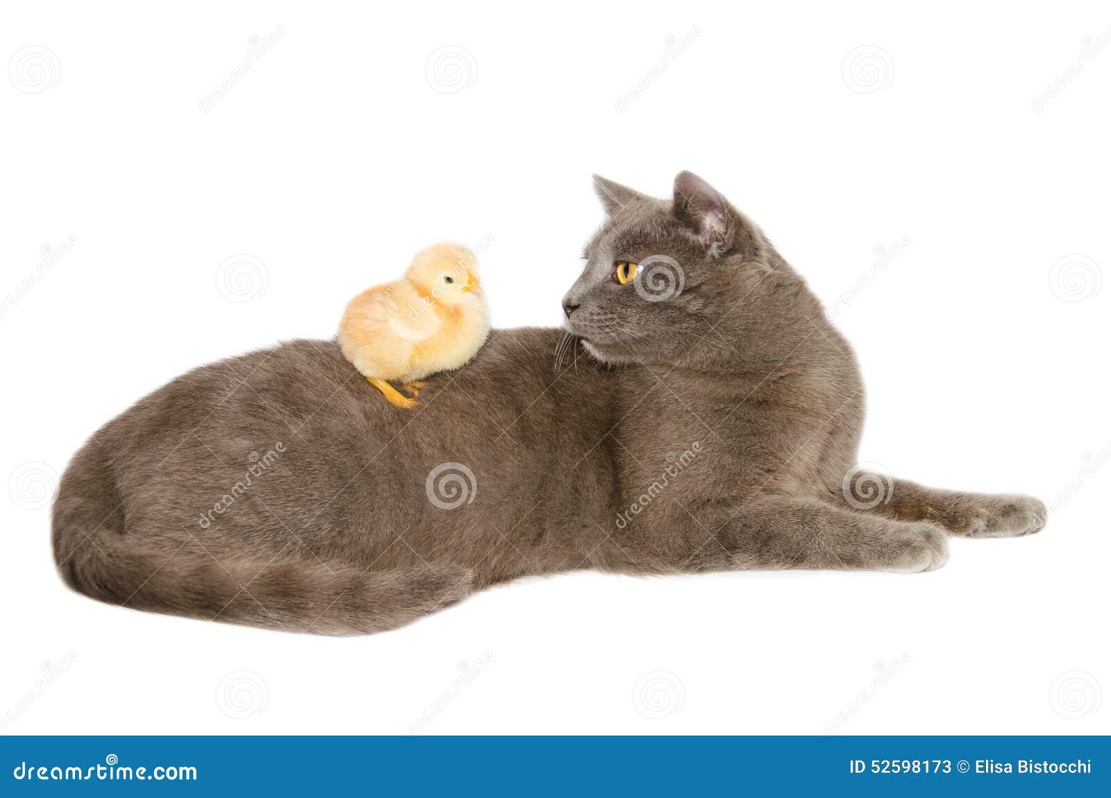 Studioportret van kat met babykuiken