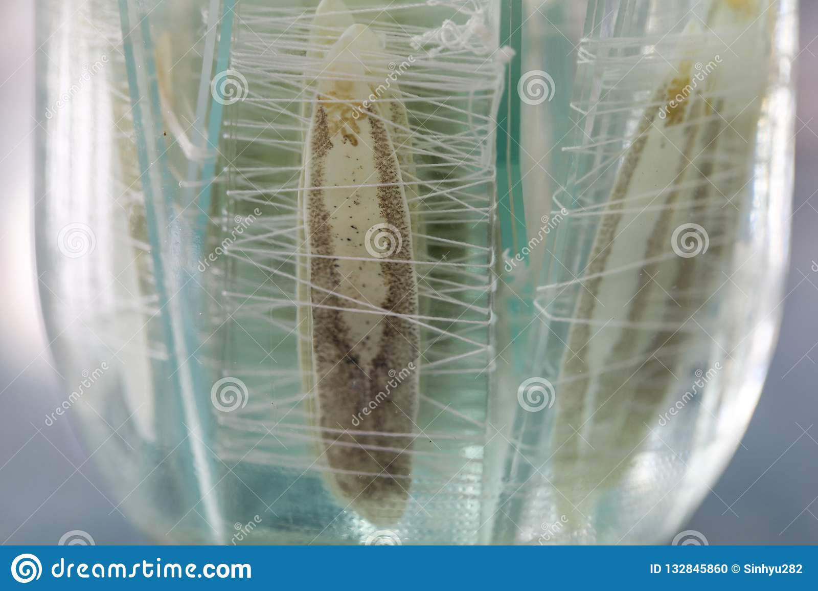 parasite or worms is a freshwater fish parasite in laboratory for