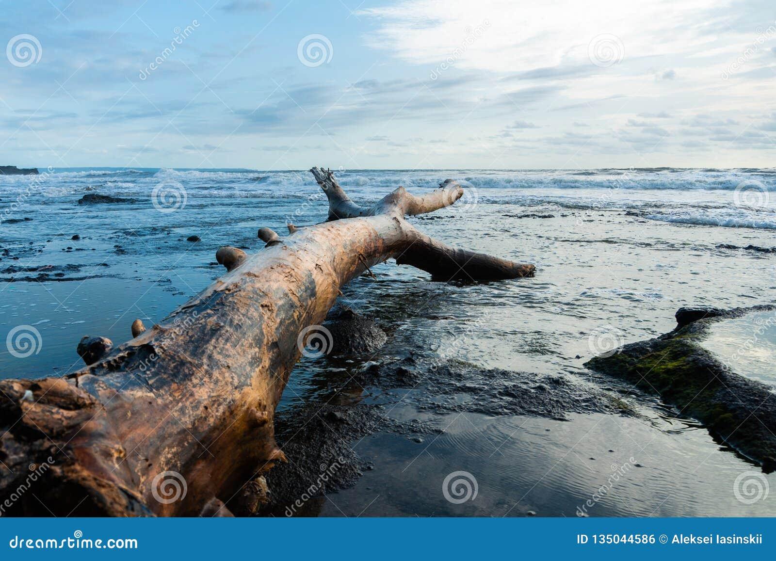 Stuk van drijfhout op zandig die oceanic strand door branding met laag van wit schuim op waterspiegel wordt gewassen