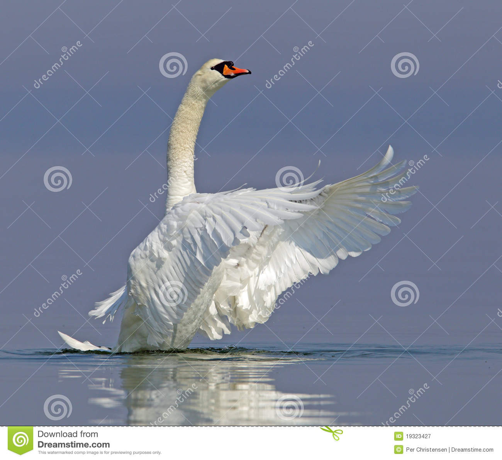 Stum swan