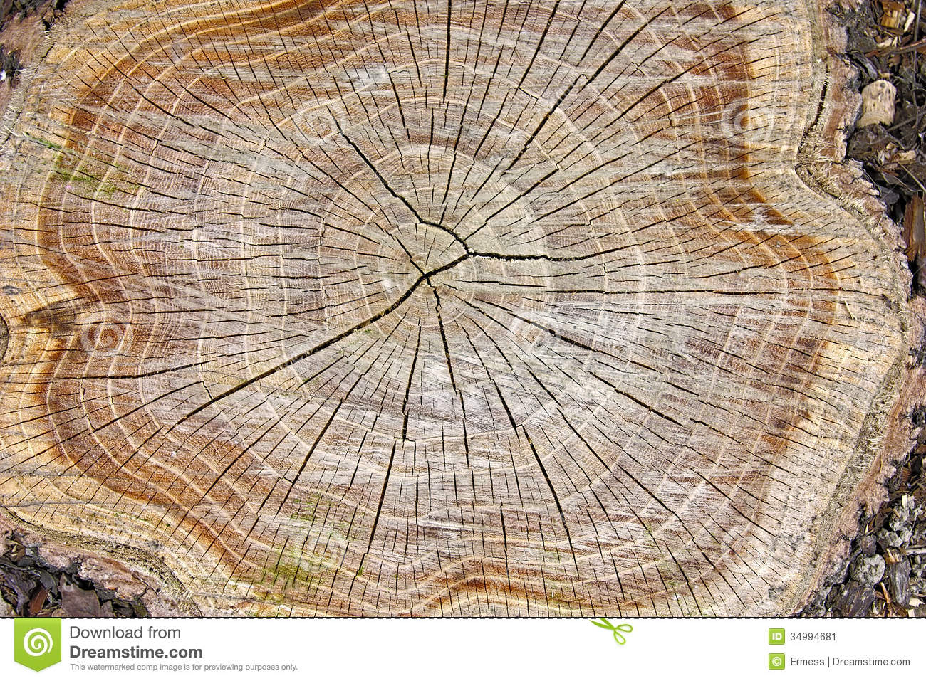 Stump of tree felled - section of the trunk with annual rings.