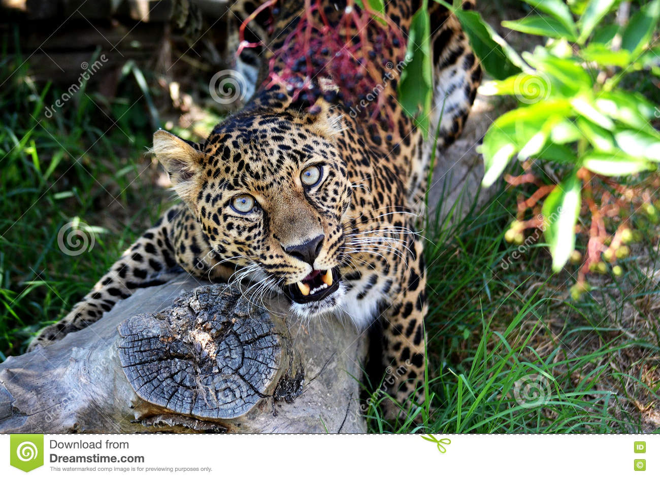 Stuning leopard glazing at you