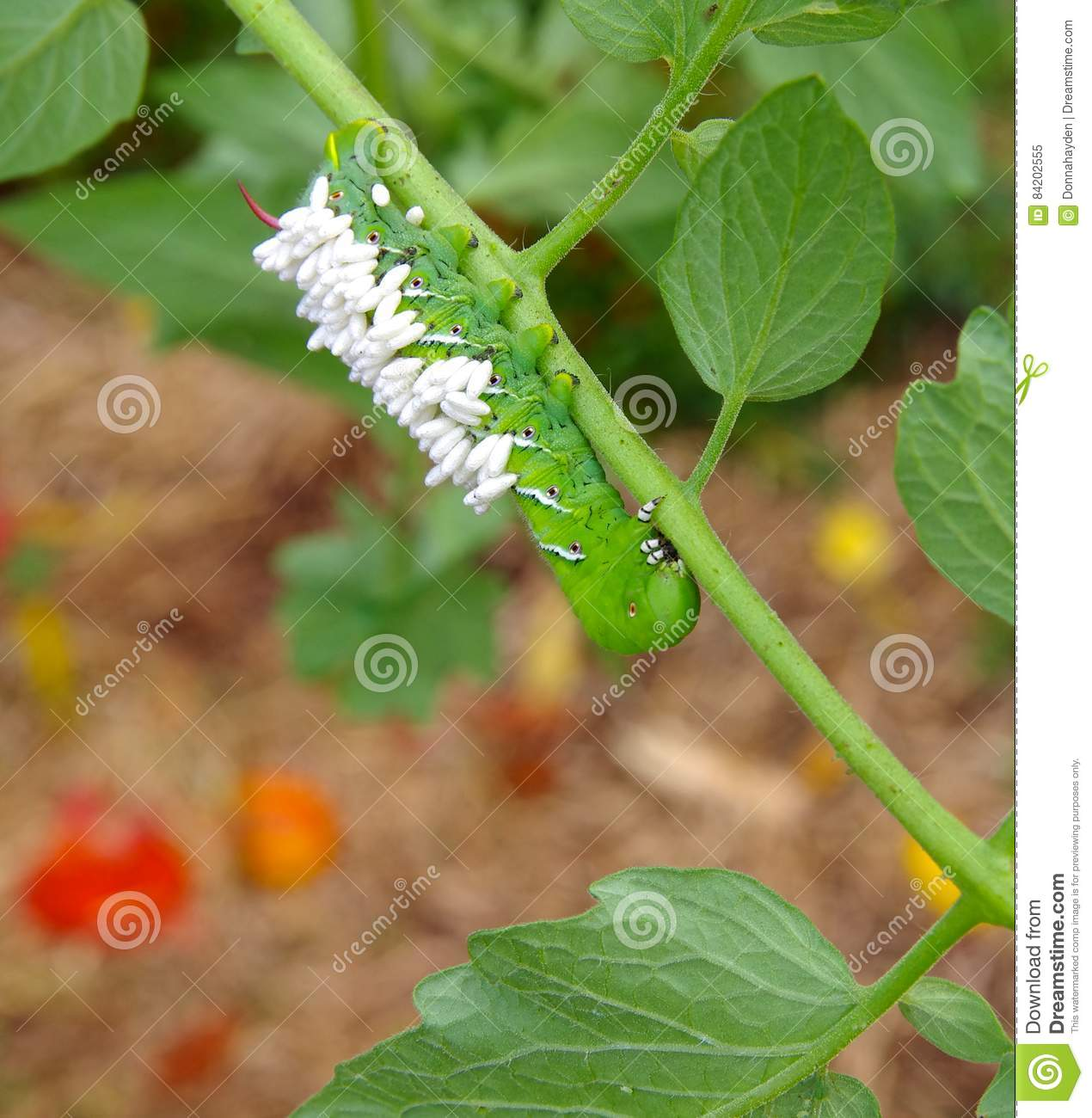 Tobacco Horn Worm On Nose Royalty-Free Stock Photo