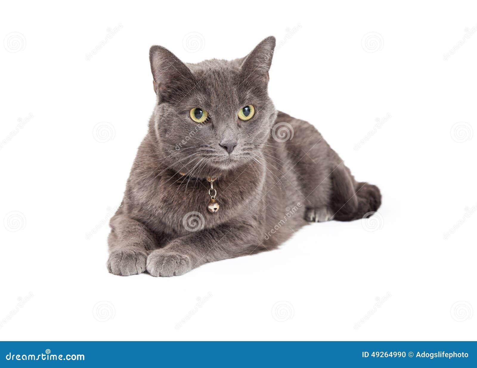 All White Shorthair Cat