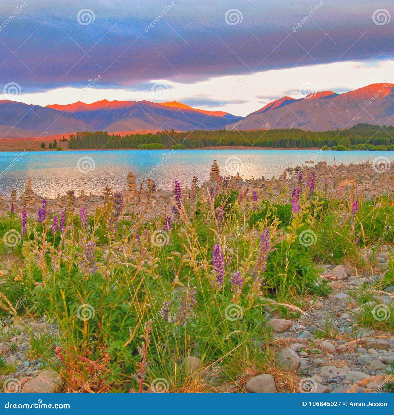 Spring wild flowers on the shores of Lake Tekapo, New Zealand