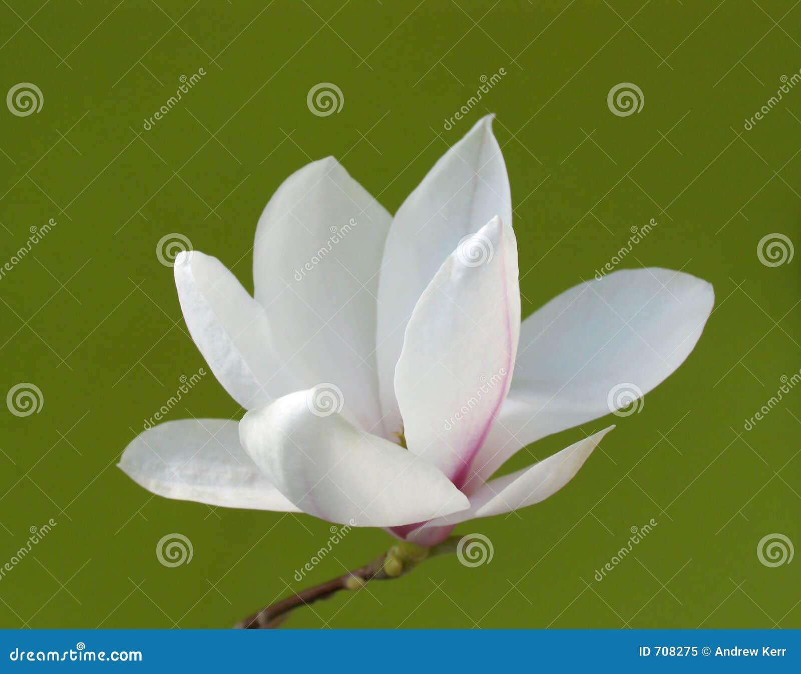Stunning magnolia flower