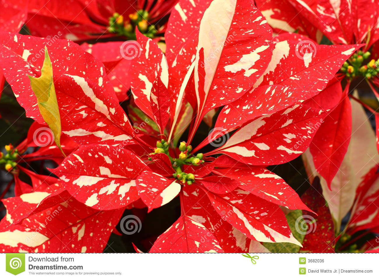 Stunning Marbled Poinsettia Flowers