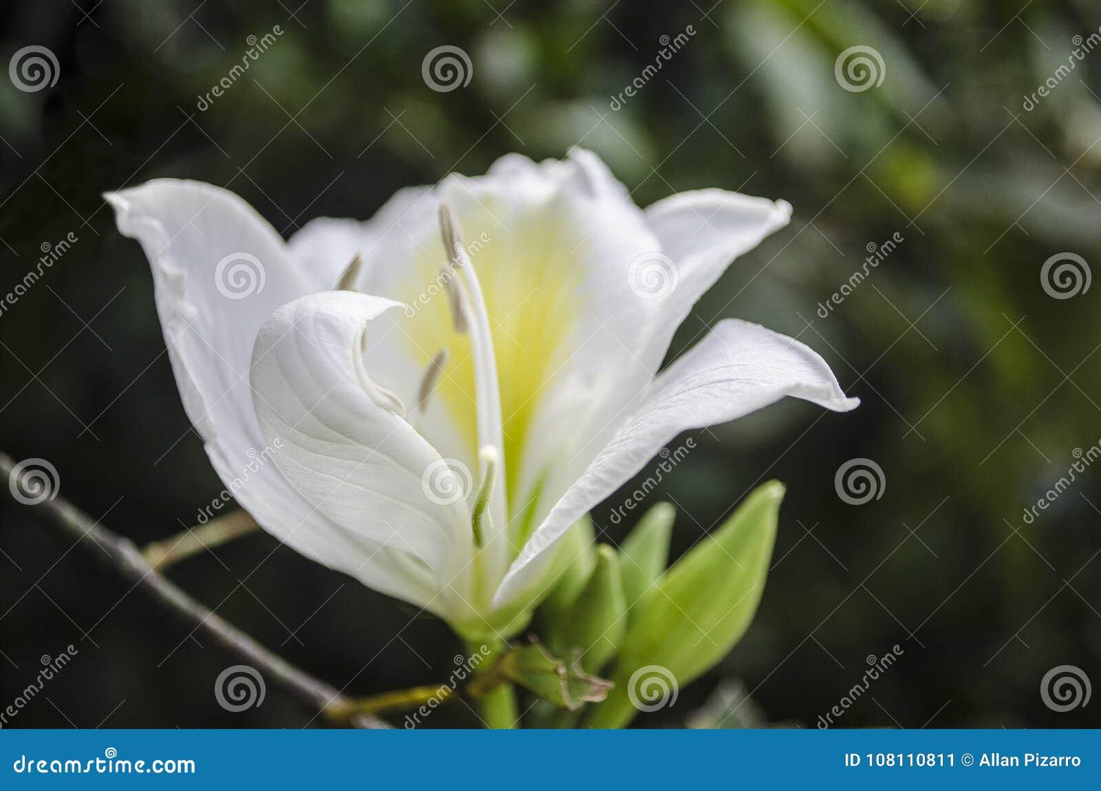 Stunning Morning White Flower Stock Image Image Of Gardens