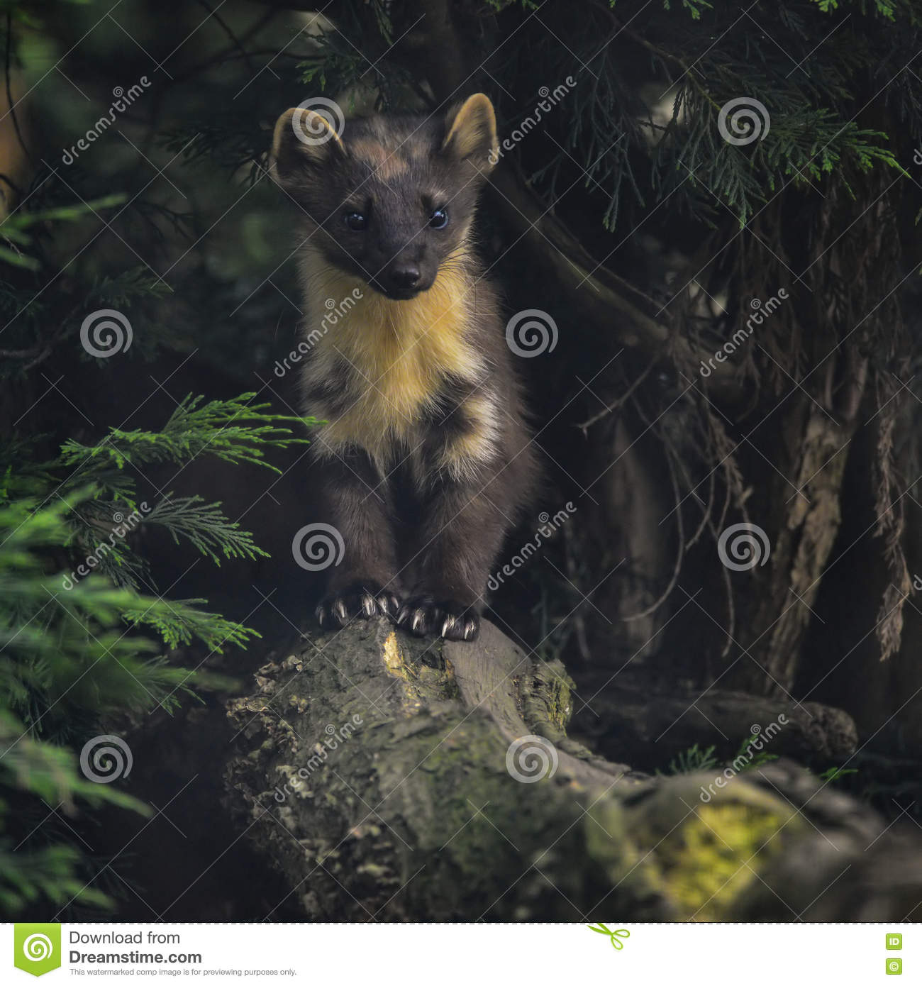 Download Stunning Pine Martin Martes Martes On Branch In Tree Stock Photo - Image of mammal, nature: 73485556