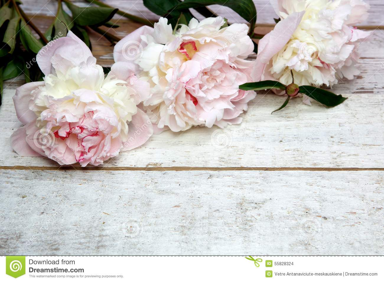 Stunning Pink Peonies On White Rustic Wood Stock Photo