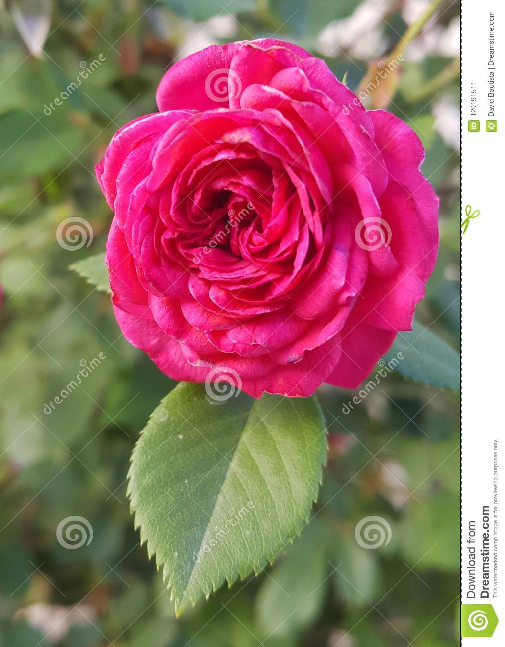 Big Pink Rose Flower With Huge Petals And Pointy Leaf Stock Image