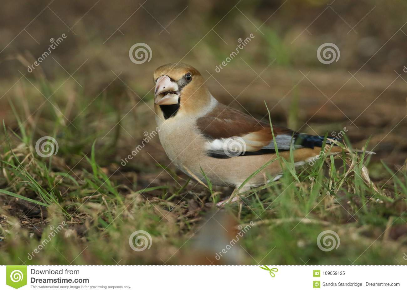 A stunning rare Hawfinch Coccothraustes coccothraustes feeding in the shade on the forest floor.