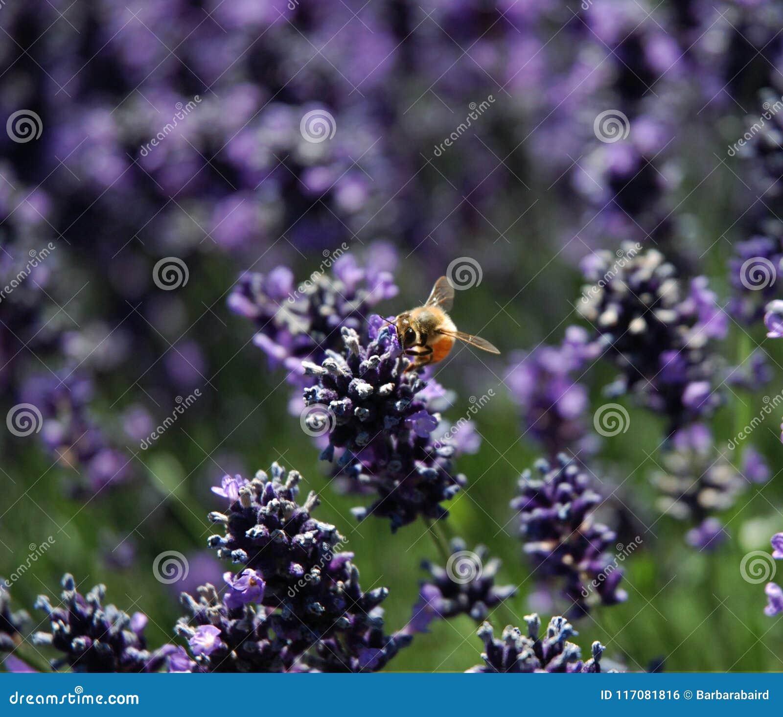 Stuntel Bijenzitting op Lavendel
