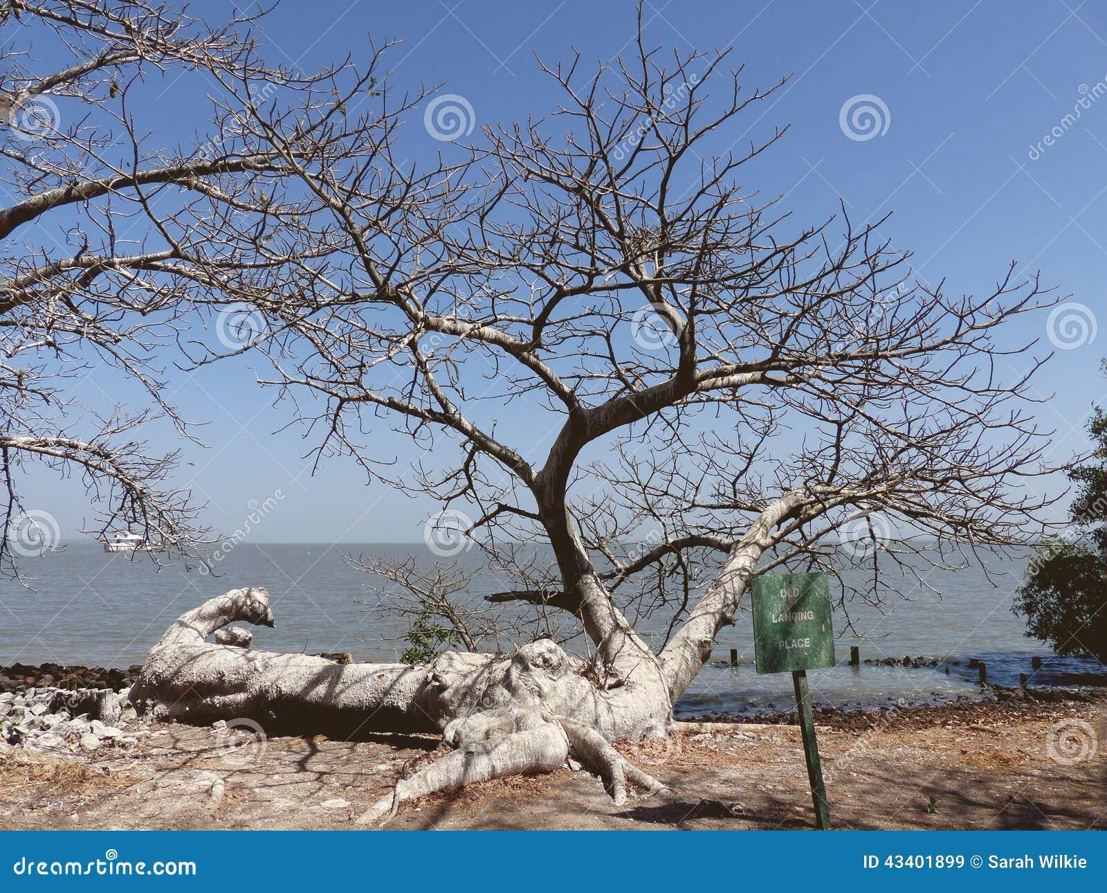 Stupad baobab