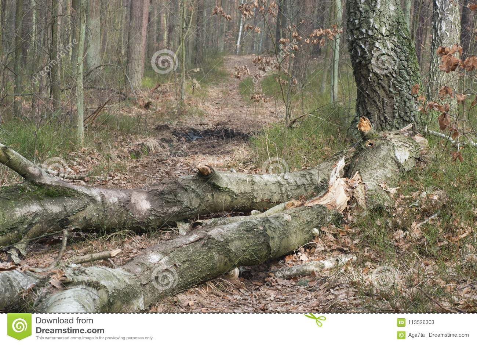 Stupat ruttet björkträd