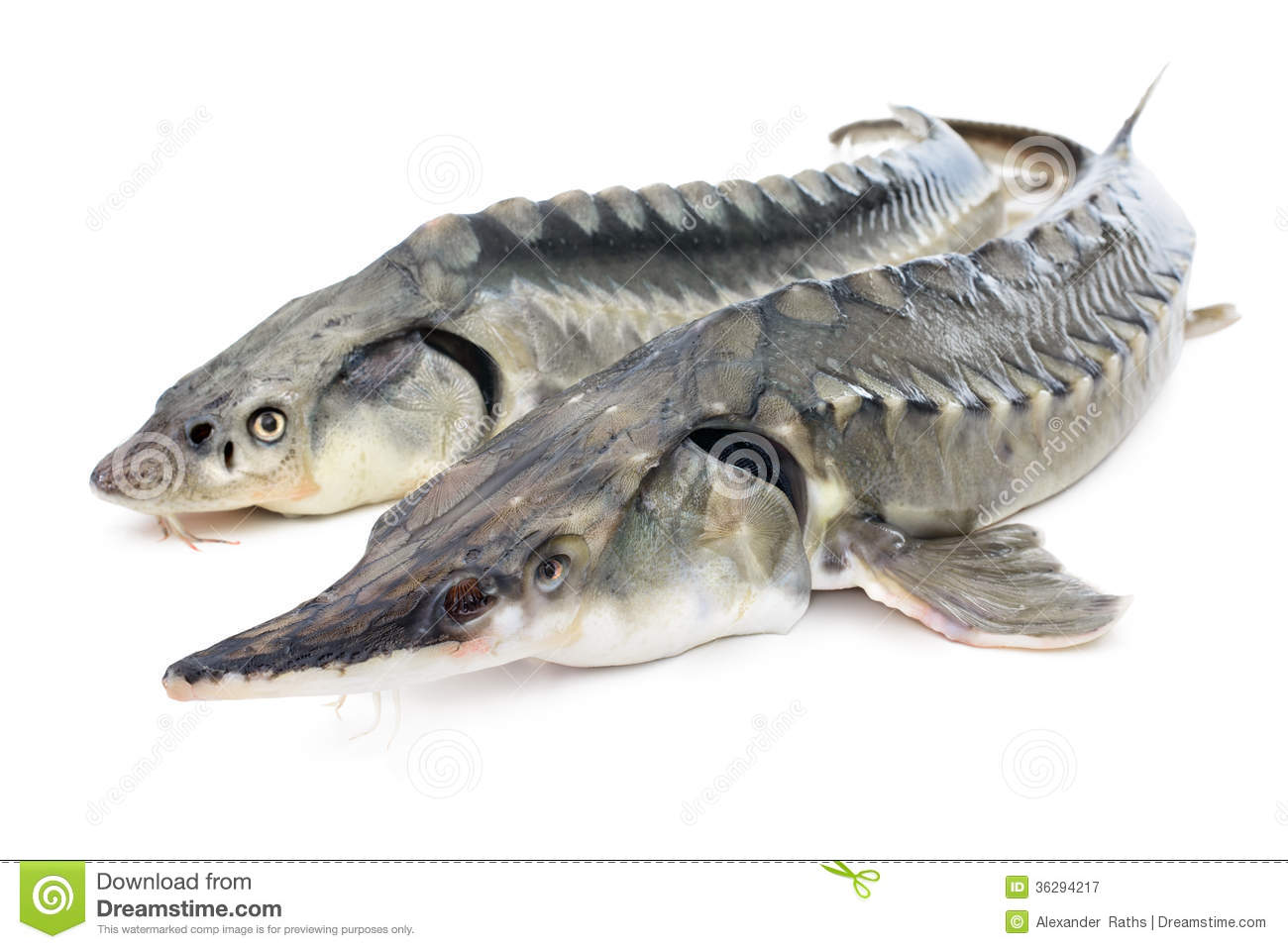 Sturgeon Fish Royalty Free Stock Photography Image 36294217