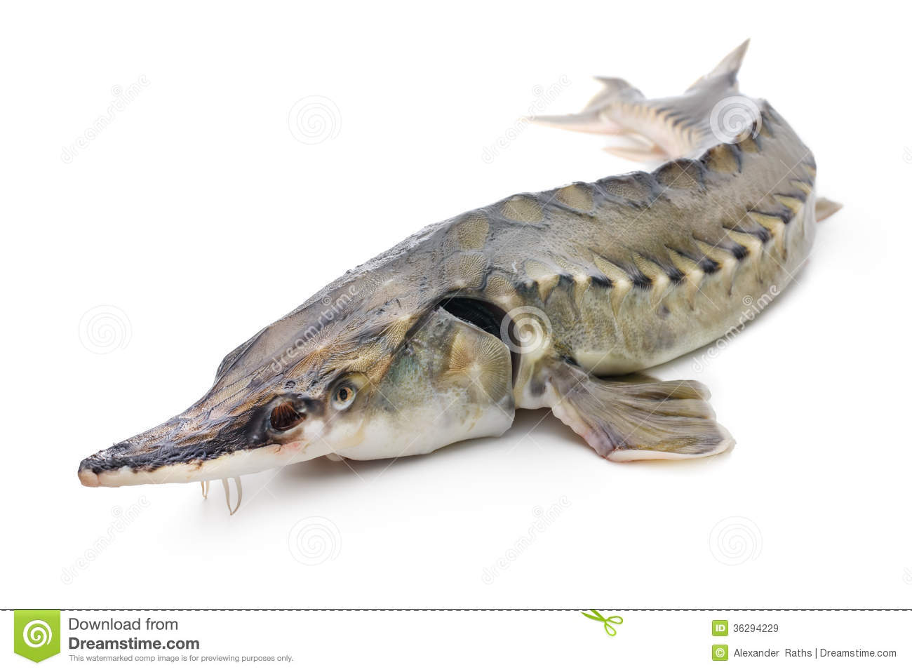 Sturgeon fish stock image image of caviar animals fish for Photos of fish