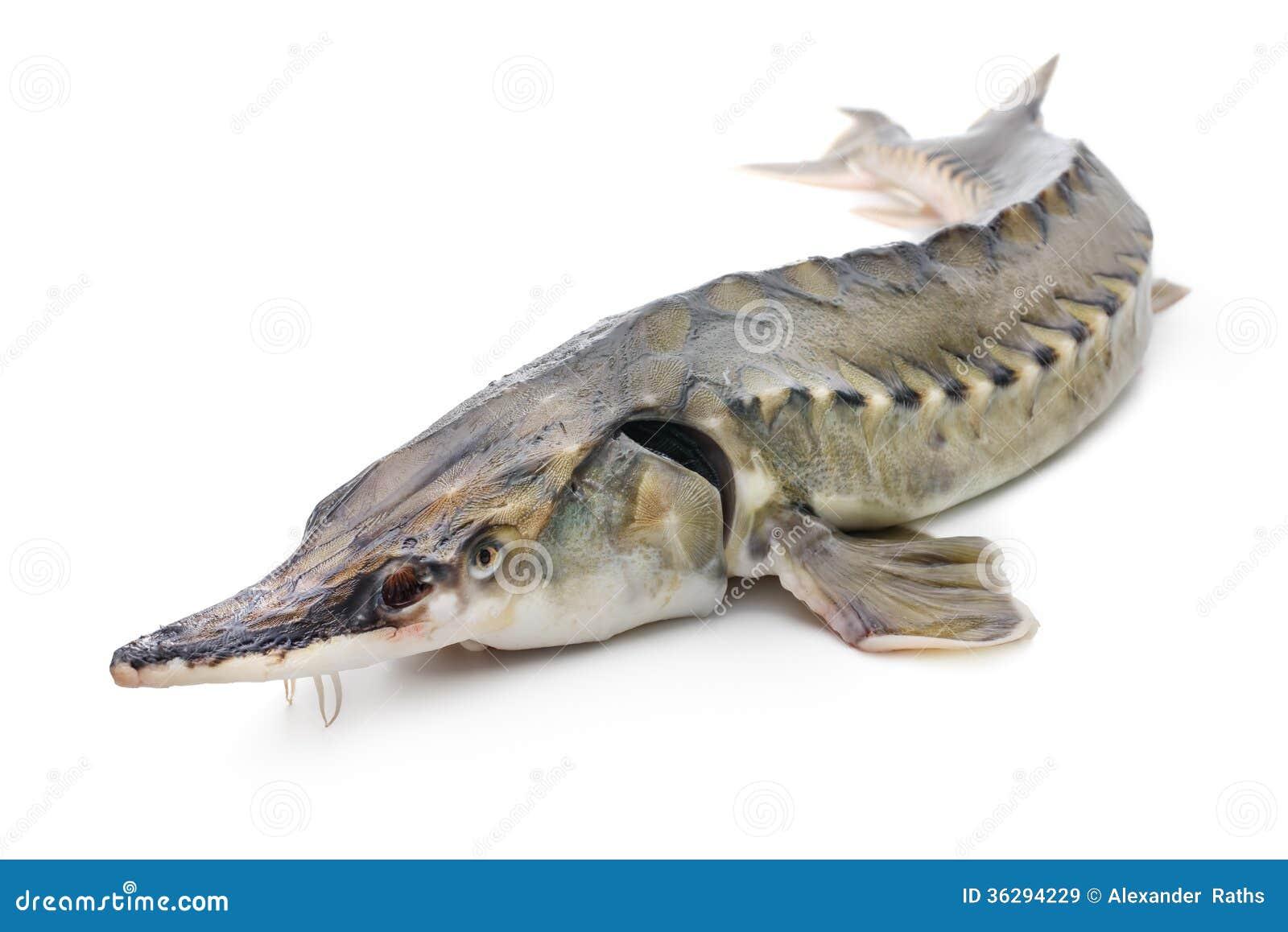 Sturgeon fish stock image image of caviar animals fish for Black caviar fish