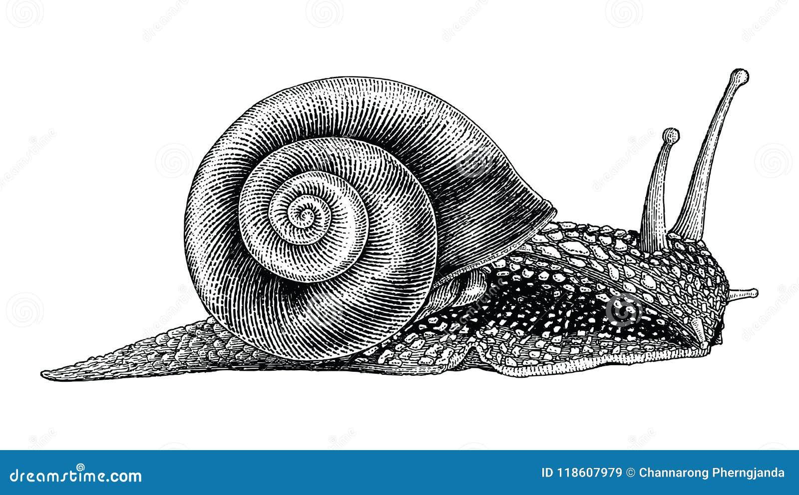 Style de vintage de dessin de main d escargot