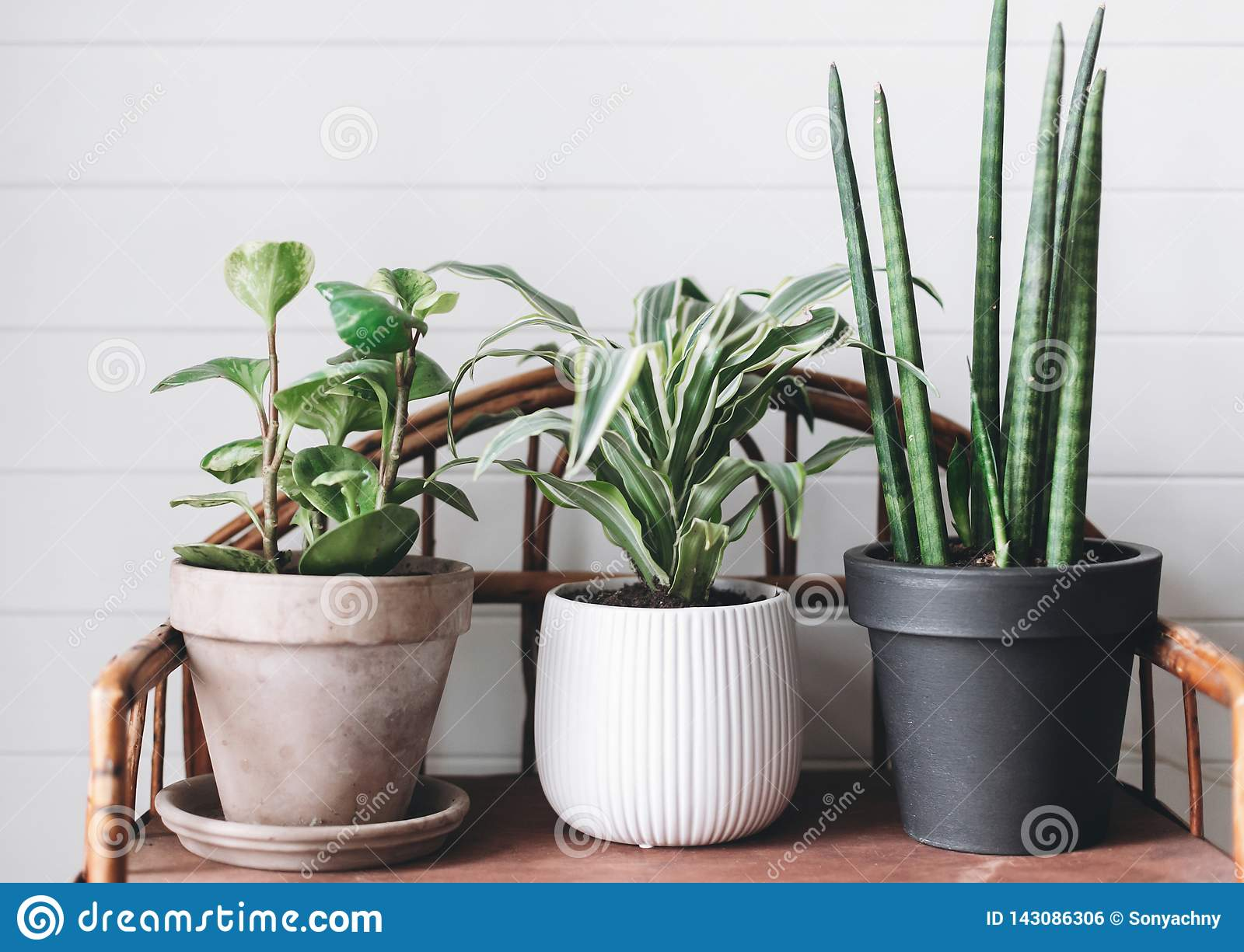 Stylish green plants in pots on wooden vintage stand on background of white rustic wall. Modern room decor. Peperomia, sansevieria