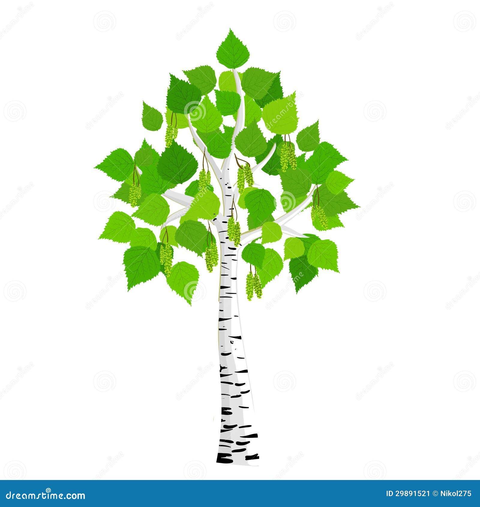 vector birch tree stock vector image of picture birch tree vector art birch tree vector image