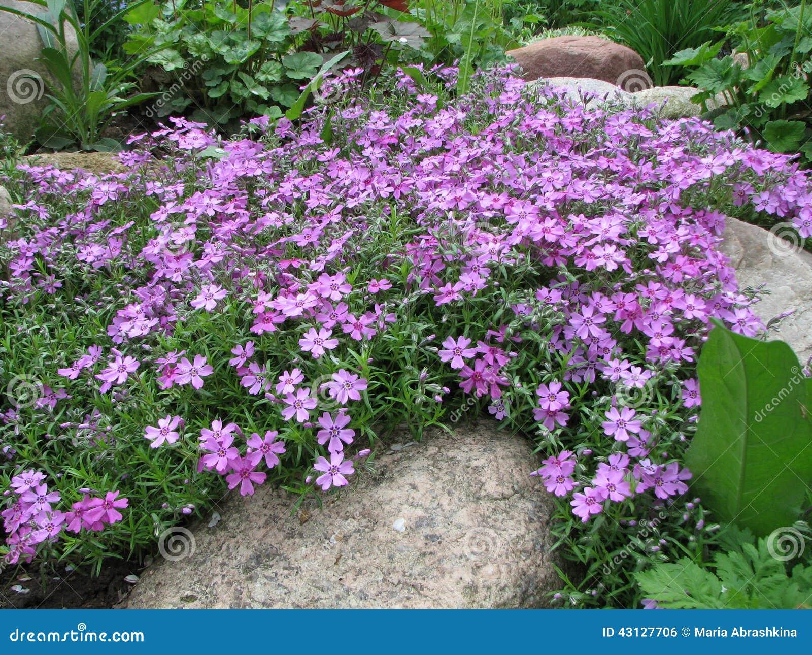 styloid flowering phlox phlox subulata stock photo image of buds flora 43127706. Black Bedroom Furniture Sets. Home Design Ideas