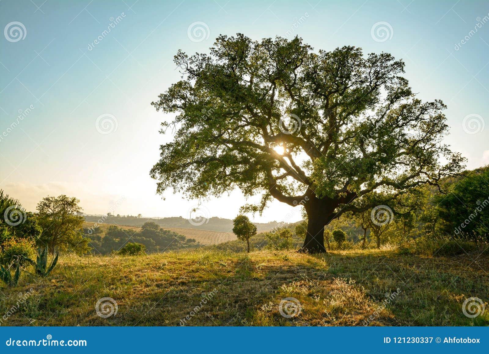 Suber för korkekQuercus och medelhavs- landskap i aftonsolen, Alentejo Portugal Europa