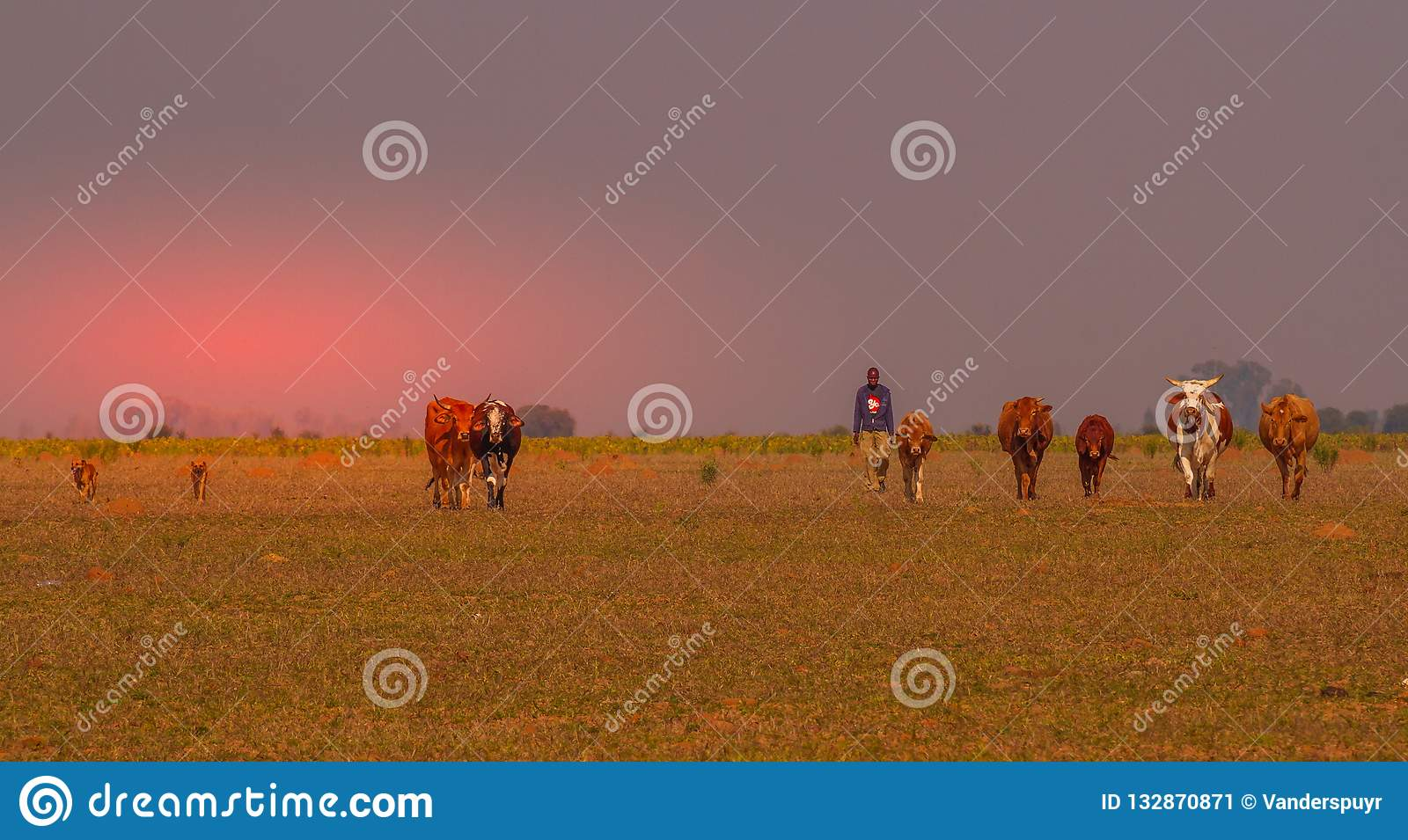 Subsistence farmer in Africa with his dogs and cattle
