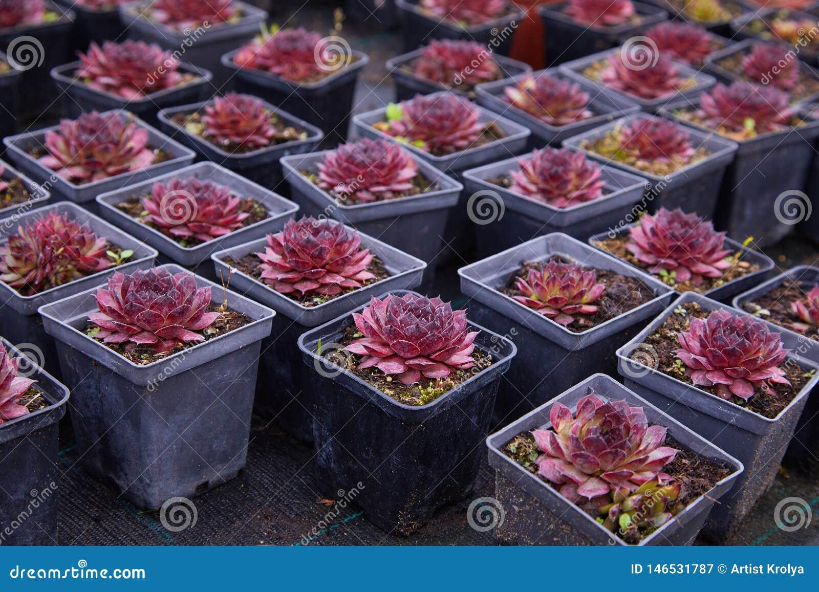 Succulant紫色的echeveria 一朵多汁花被塑造象玫瑰