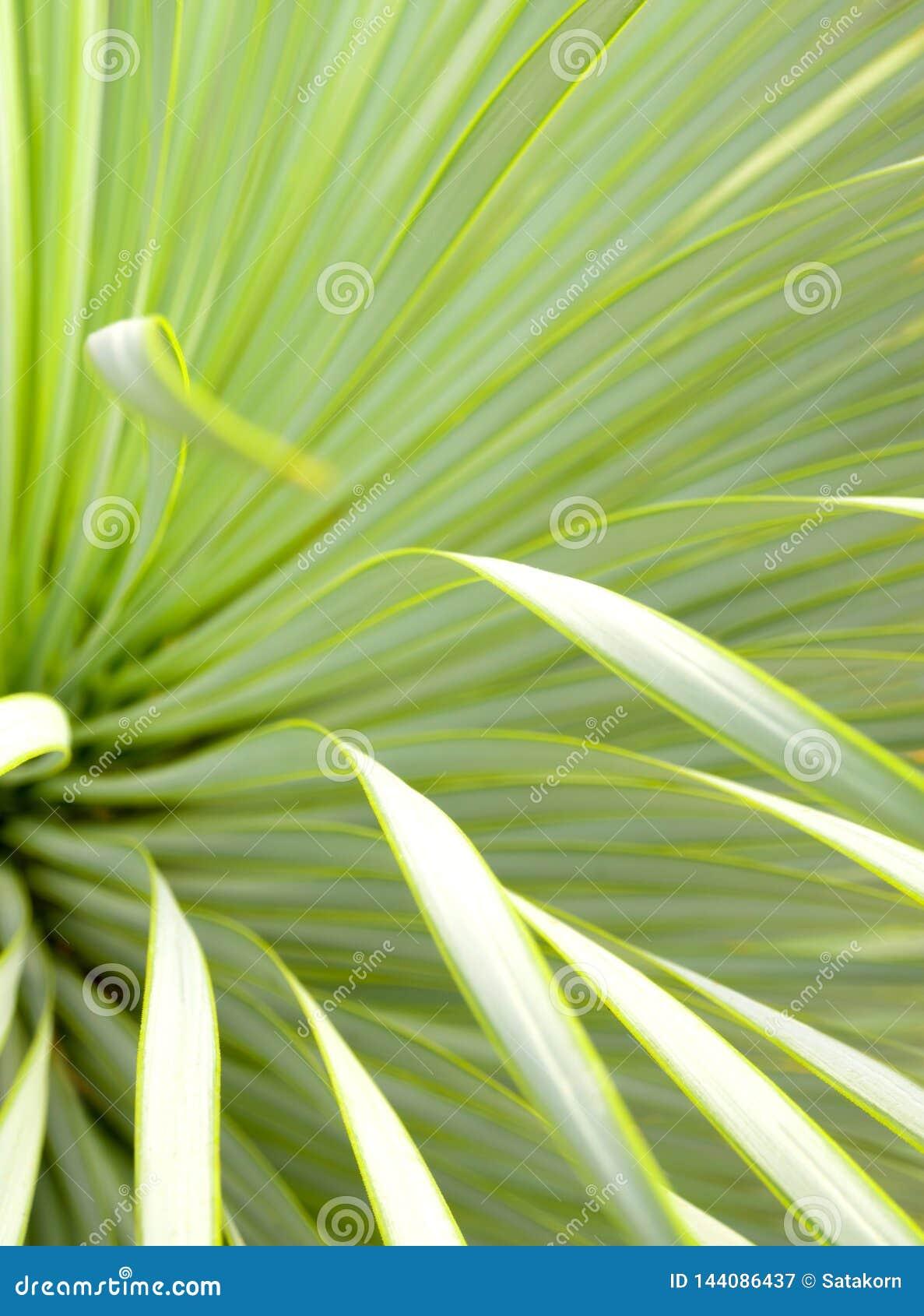 Succulent κινηματογράφηση σε πρώτο πλάνο, αγκάθι και λεπτομέρεια φυτών Yucca στα φύλλα Narrowleaf Yucca