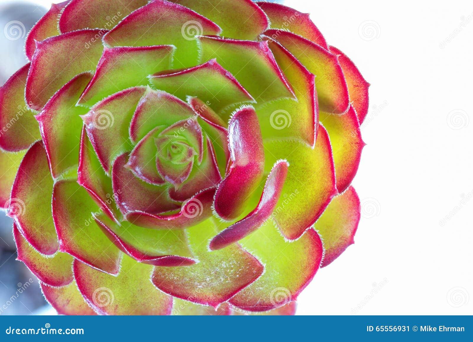 Succulent λουλούδι εγκαταστάσεων